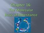 Chapter 16: The Molecular Basis of Inheritance