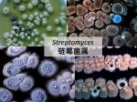 Streptomyces 链霉菌属