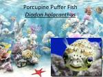 Porcupine Puffer Fish Diodon holacanthus
