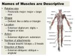 Names of Muscles are Descriptive