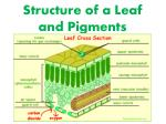 Structure of a Leaf and Pigments