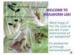 What stage of the life cycle do you see in your observations of our mealworms?