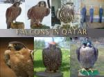 Falcons in Qatar