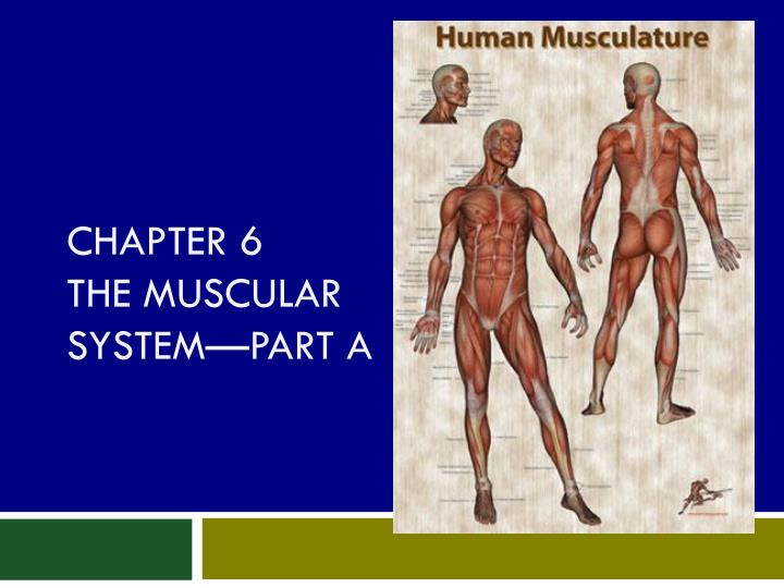 chapter 6 the muscular system part a n.