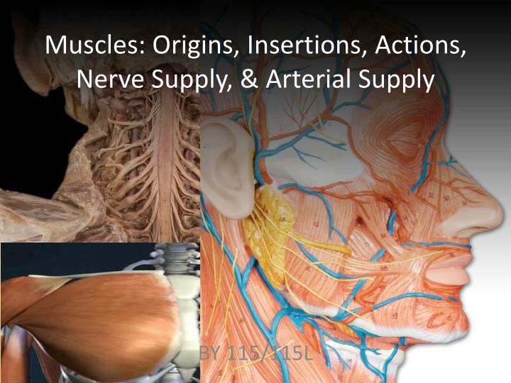 muscles origins insertions actions nerve supply arterial supply n.