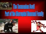 The Tasmanian Devil  Part of the Marsupial Mammal Family