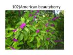 102)American beautyberry