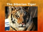 The Siberian Tiger