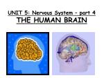 UNIT 5: Nervous System – part 4 THE HUMAN BRAIN