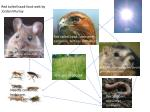 Red tailed hawk, consumer, carnivore, tertiary consumer