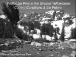 Whitebark Pine in the Greater Yellowstone: Current Conditions & the Future
