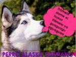 Perro Alaska siberiano