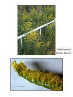 Tall Goldenrod Solidago altissima
