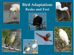 Bird Adaptations Beaks and Feet